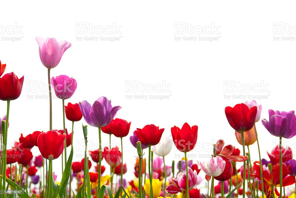 Happy Tulips on White stock photo
