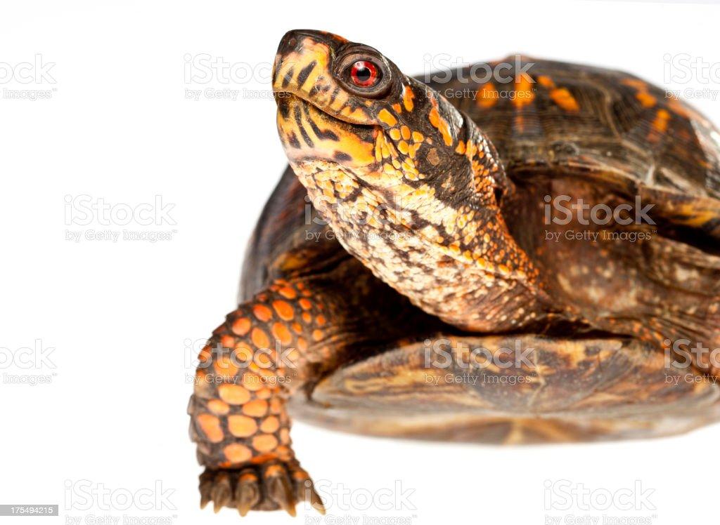 Happy Turtle Close Up stock photo