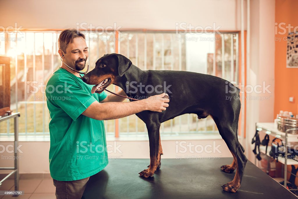 Happy veterinarian examining a Doberman on medical appointment. stock photo