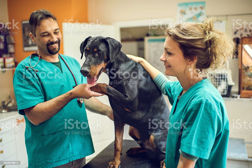 Happy veterinarian's having a medical exam with Doberman. stock photo