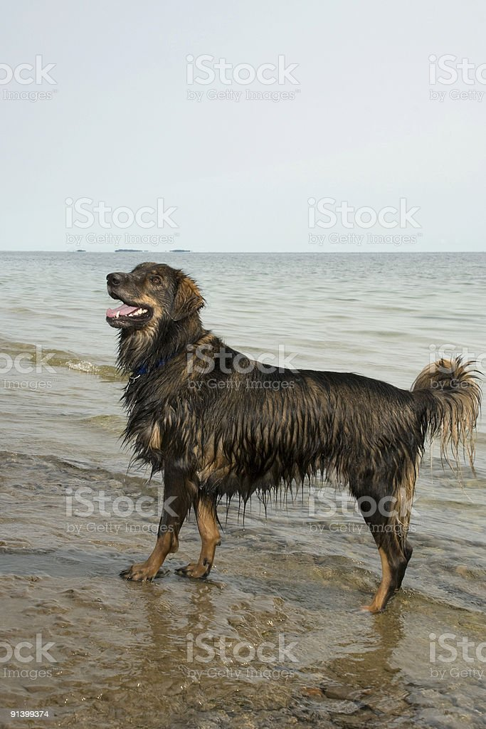 Happy Wet Dog royalty-free stock photo