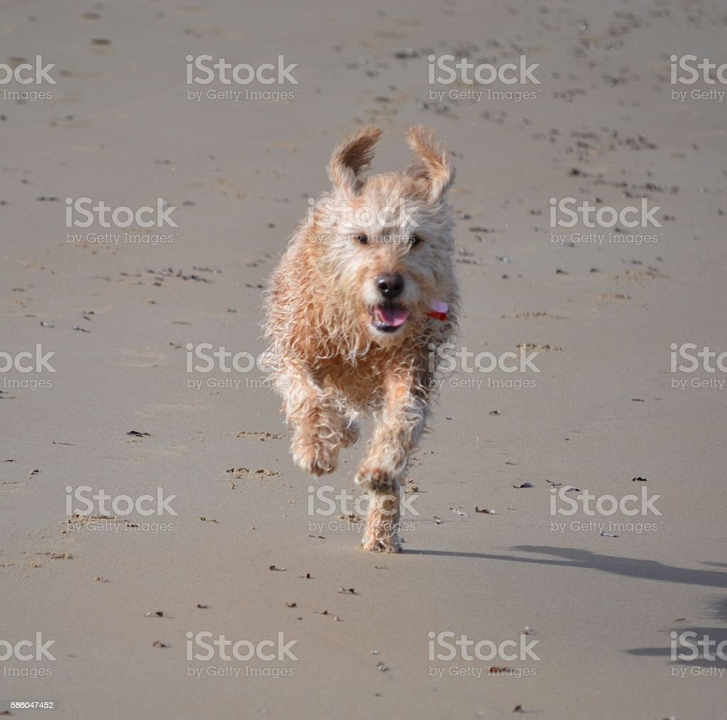 Happy wet dog running on beach with ears flying stock photo