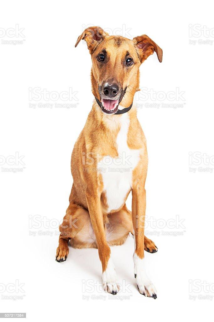 Happy Whippet Crossbreed Dog stock photo