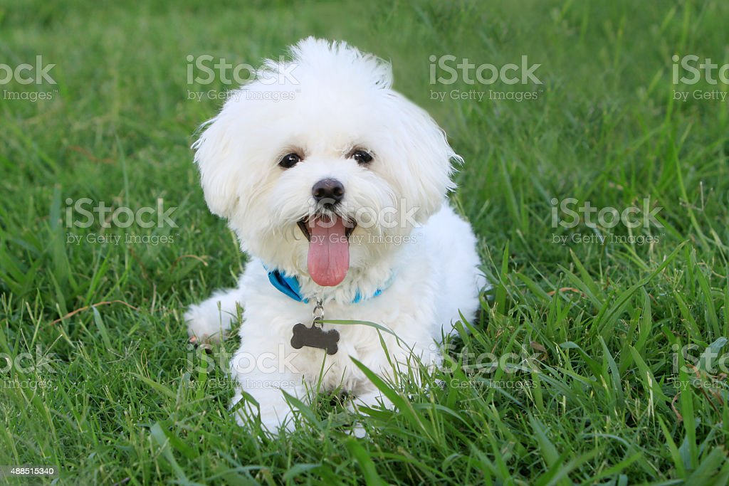 Happy White Dog in Grass stock photo
