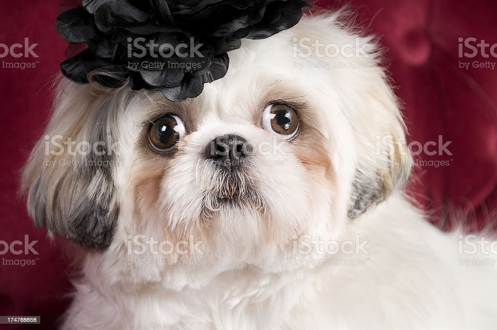 Happy White Shih Tzu Dog Close-up royalty-free stock photo