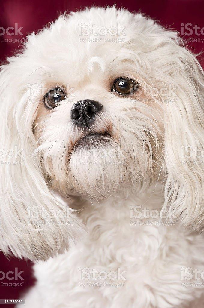 Happy White Shih Tzu Dog Close-up royalty-free stock photo