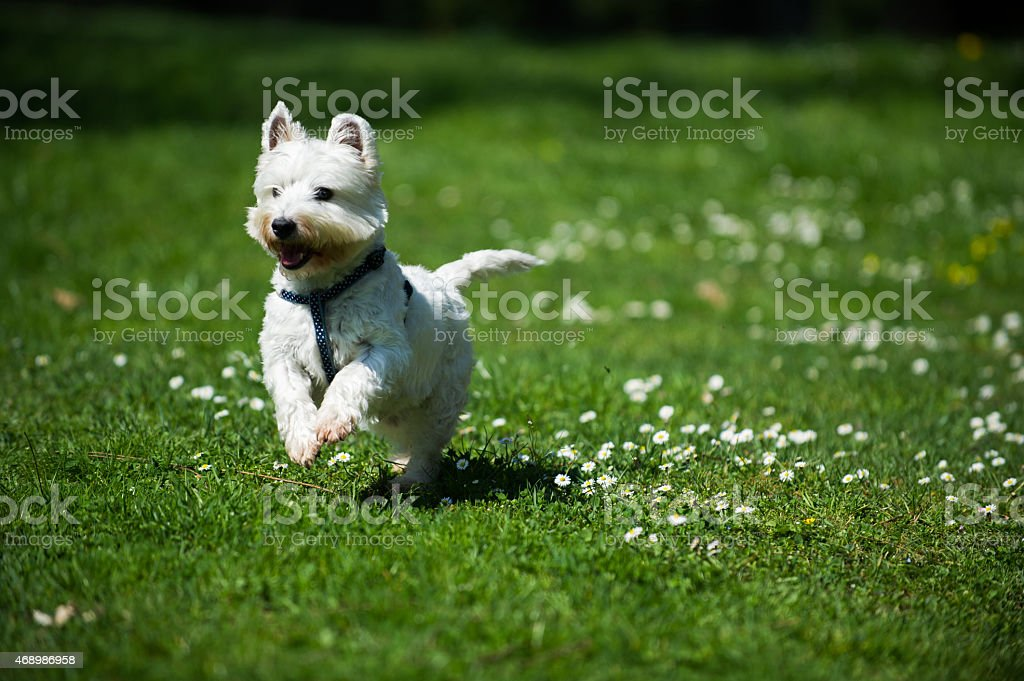 Happy white westie dog running on the grass stock photo