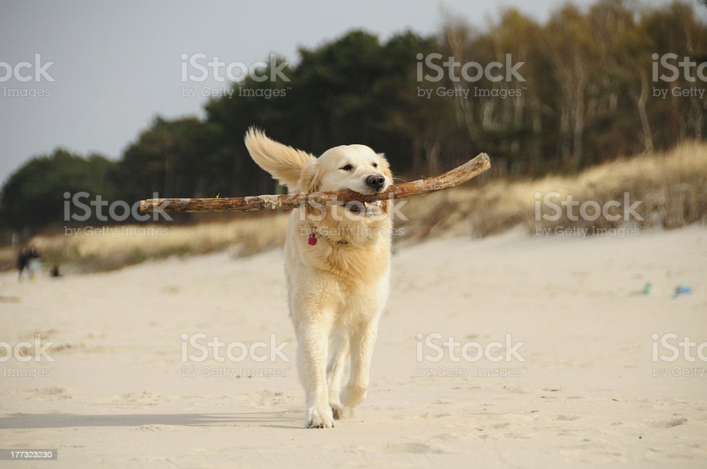 Happy with stick royalty-free stock photo