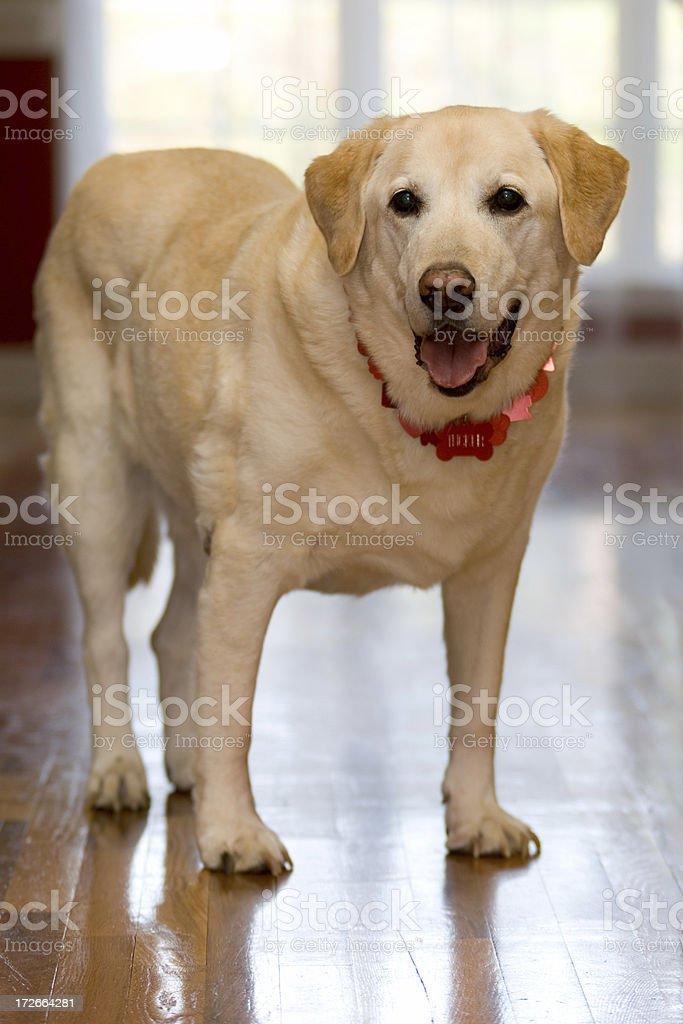 Happy Yellow Labrador Standing on Hardwood Floor Flank stock photo