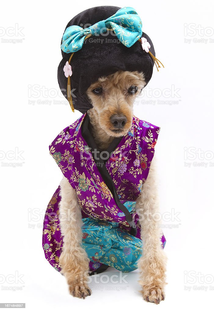 Harajuku Poodle royalty-free stock photo
