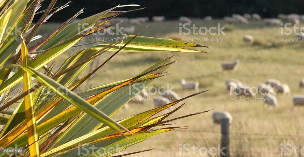 Harakeke (New Zealand Flax) and Rural Scene stock photo