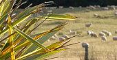 Harakeke (New Zealand Flax) and Rural Scene