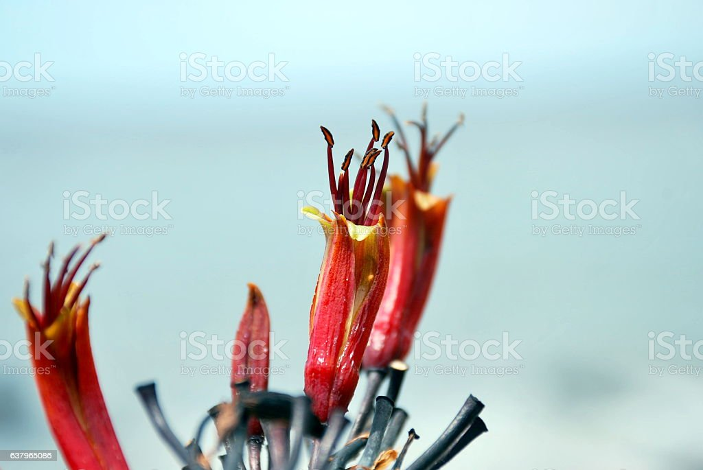 Harakeke (New Zealand Flax) in Bloom stock photo