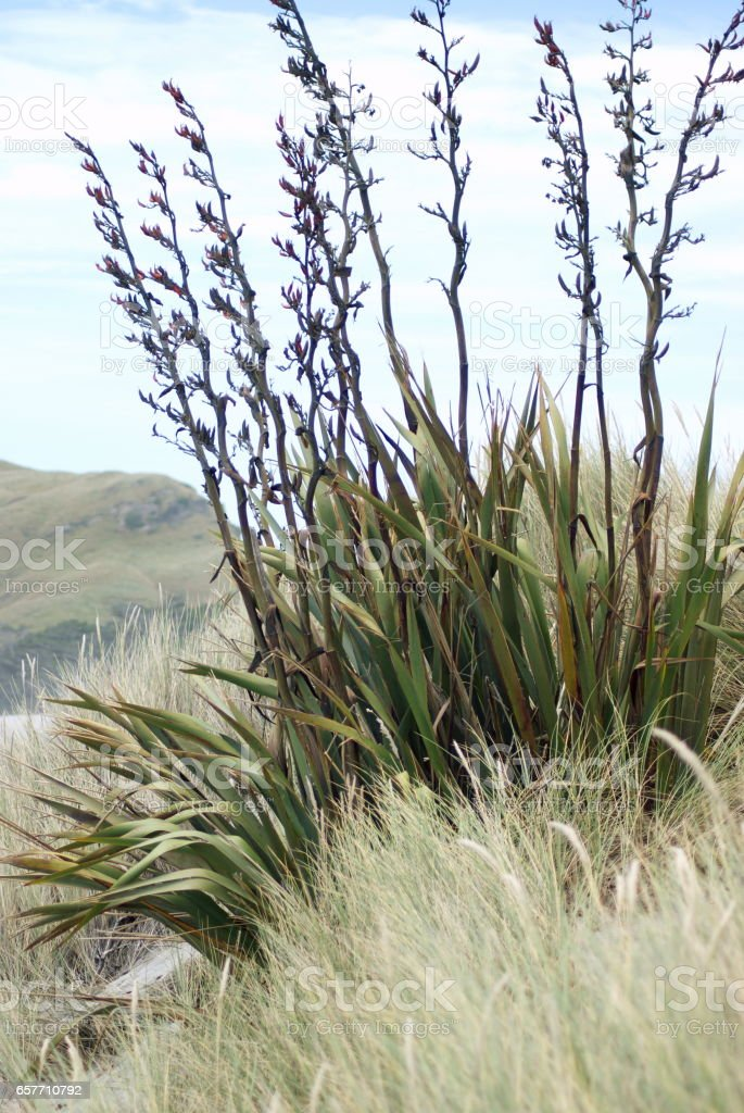 Harakeke (NZ Flax) Landscape, New Zealand stock photo