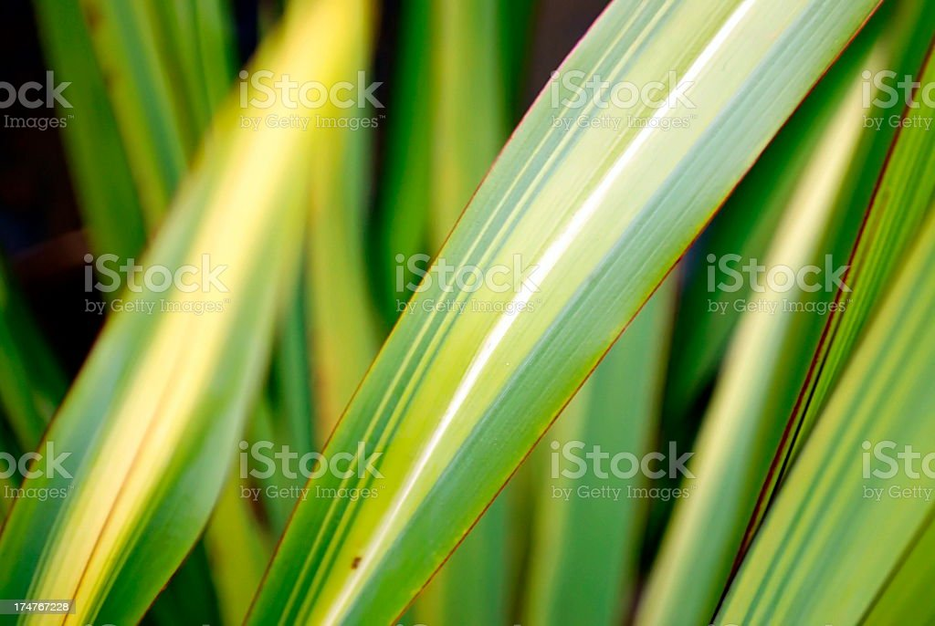 Harakeke Leaves (New Zealand Flax) stock photo