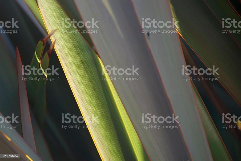Harakeke Leaves (New Zealand Flax) stock photo
