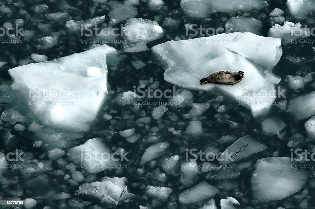 Harbor Seal, Alaska - US State, stock photo
