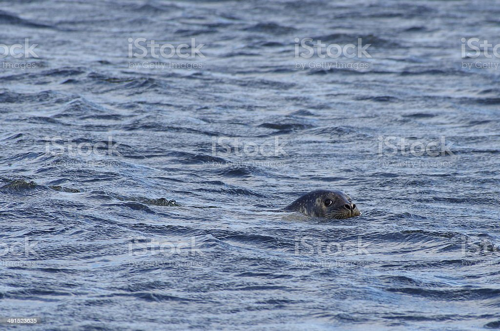 Harbor Seal in Water royalty-free stock photo