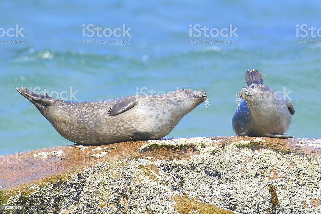 harbor seal love on the rocks stock photo