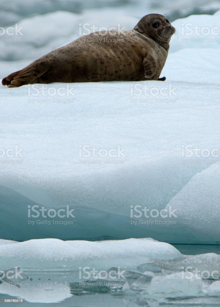 Harbor Seal near Sawyer Glacier, Alaska stock photo