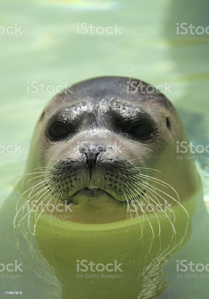 Harbor seal royalty-free stock photo