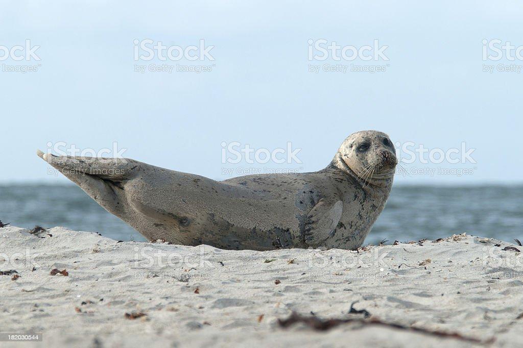 Harbor Seal royalty-free stock photo