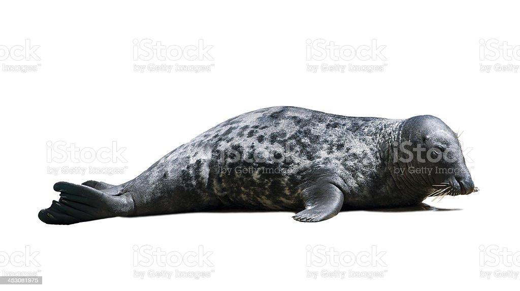 Harbor Seal stock photo