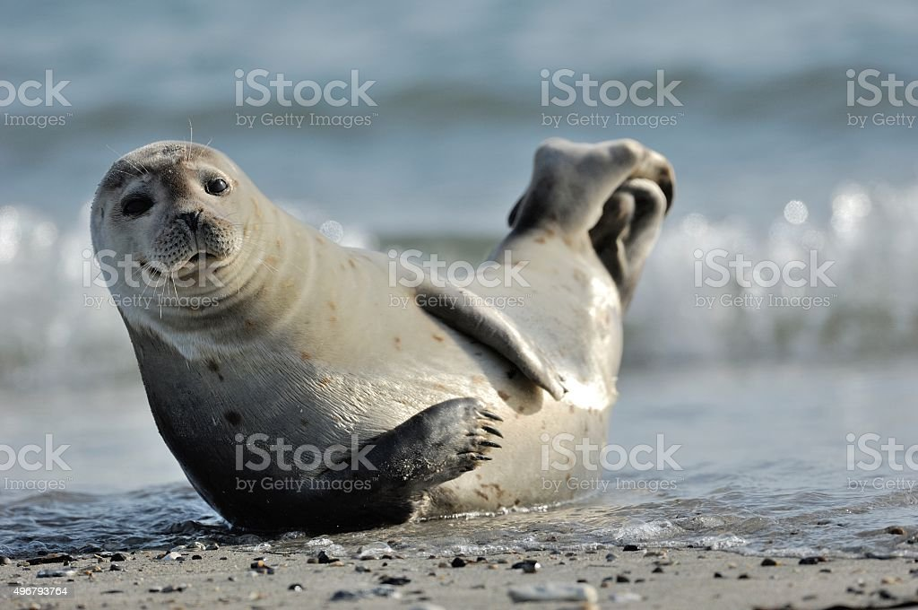 Harbor seal (Phoca vitulina) stock photo