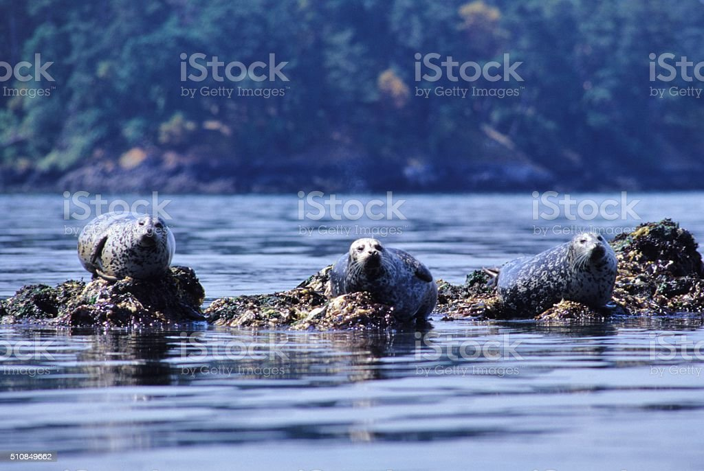 Harbor Seal stock photo