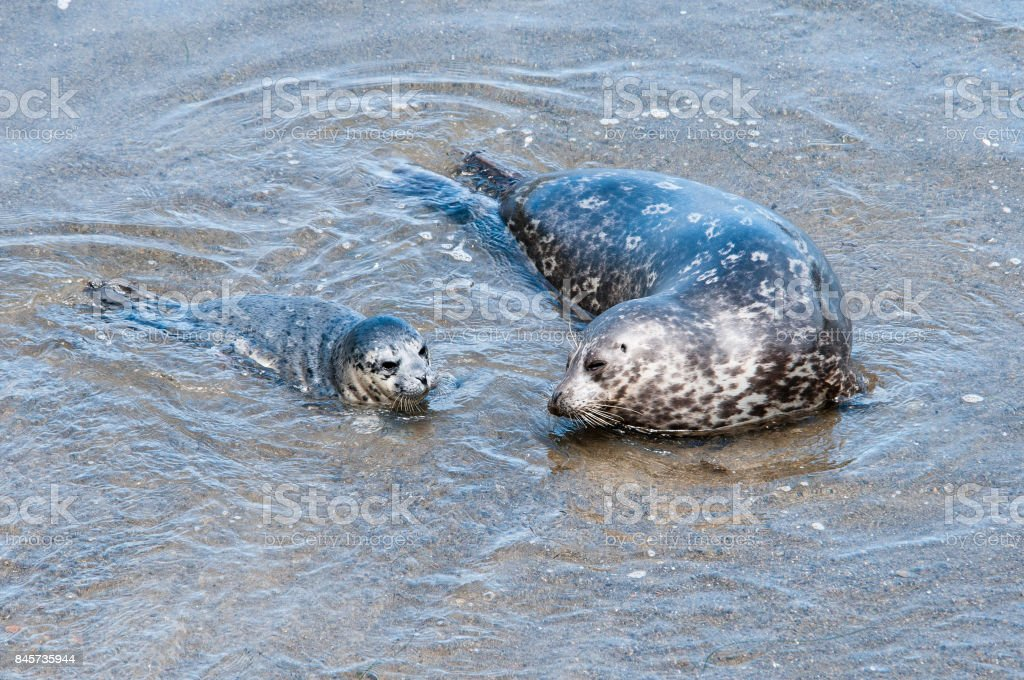 Harbor Seal pup learns to swim with its mother. stock photo