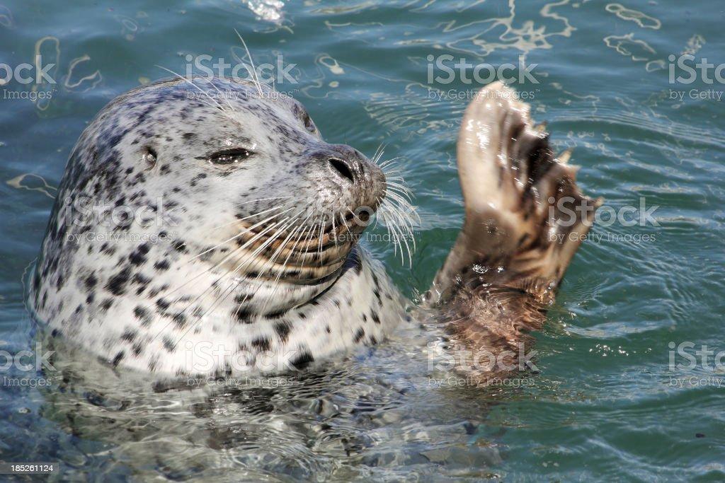 Harbor Seal Waving royalty-free stock photo