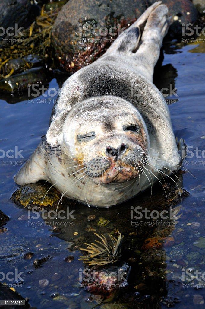 Harbor Seal Winks royalty-free stock photo
