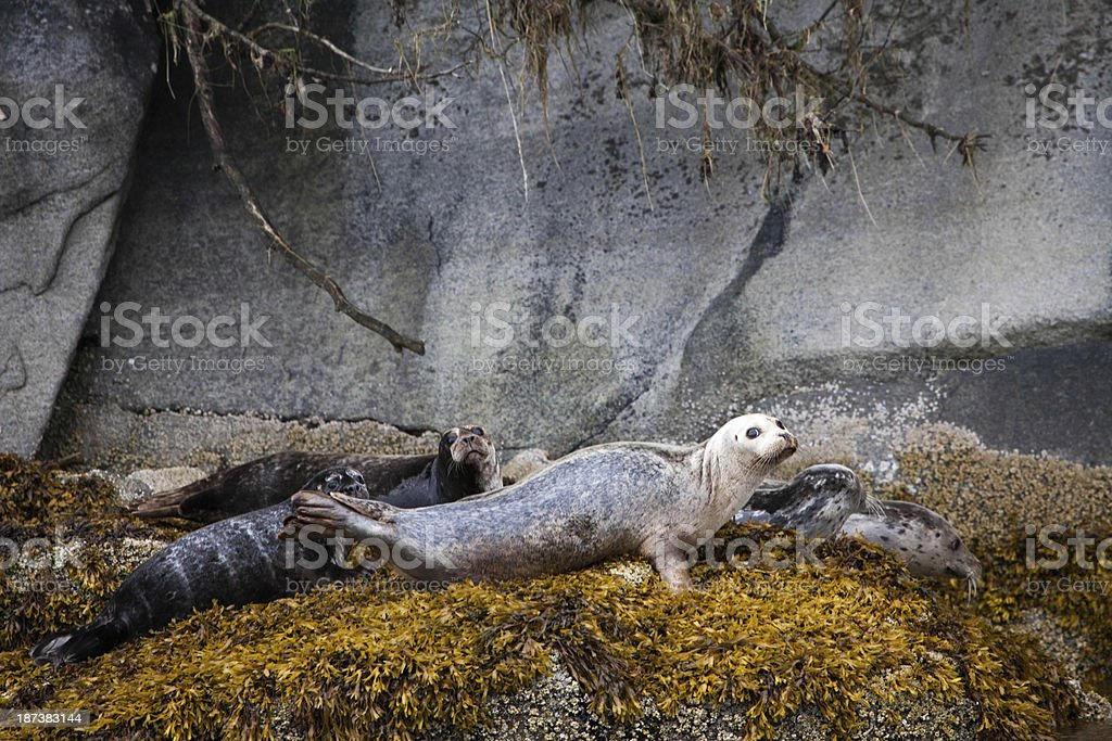 Harbor Seals Alaska stock photo