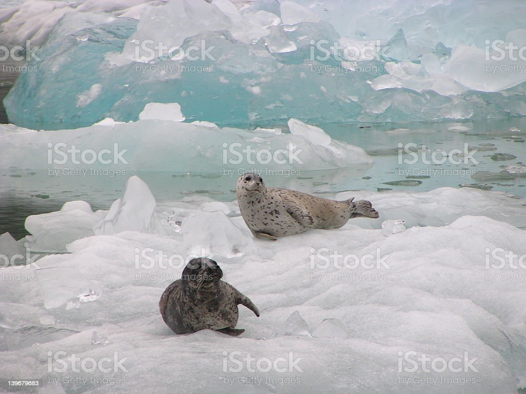 Harbor Seals on Ice royalty-free stock photo