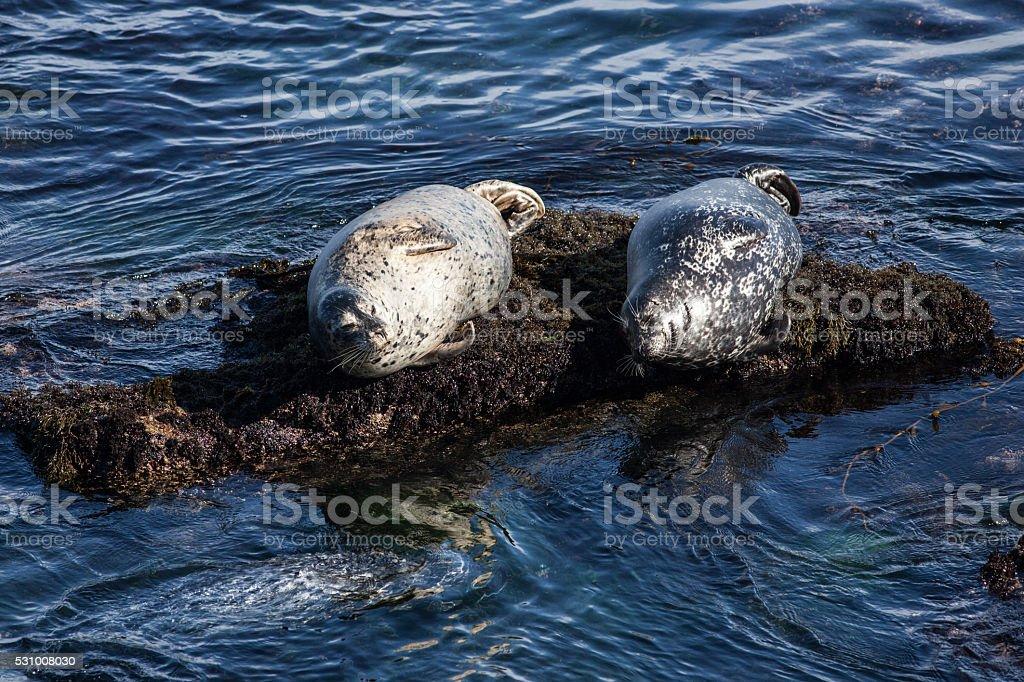 Harbor Seals on Rocks stock photo
