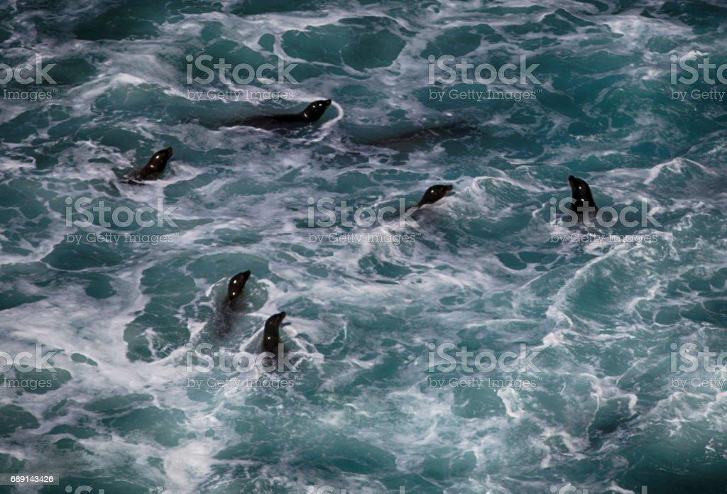 Harbor Seals playing along the Oregon coast stock photo