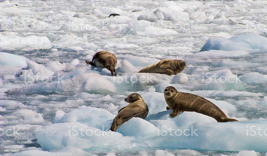 Harbor Seals Resting on Ice stock photo