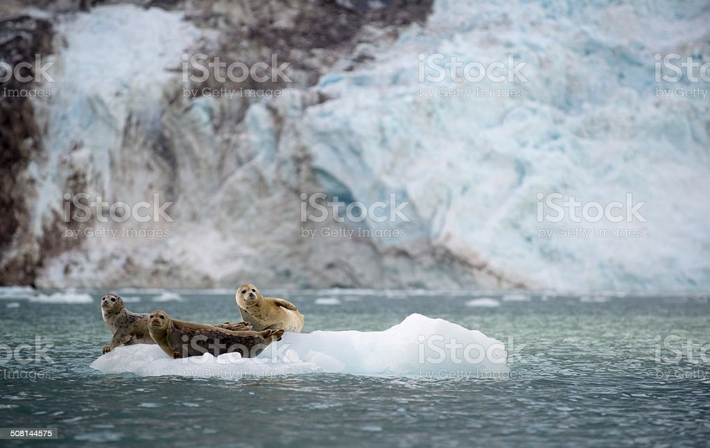 Harbor Seals Sit on an Ice Flow in Alaska stock photo
