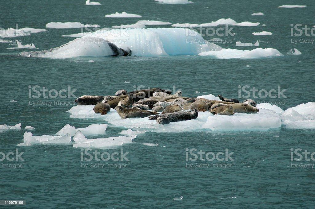 Harbour seals near Maeres Glacier in Prince William Sound ,Alaska stock photo