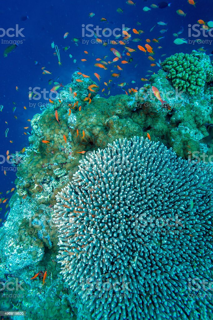 Hard corals, Maldives stock photo