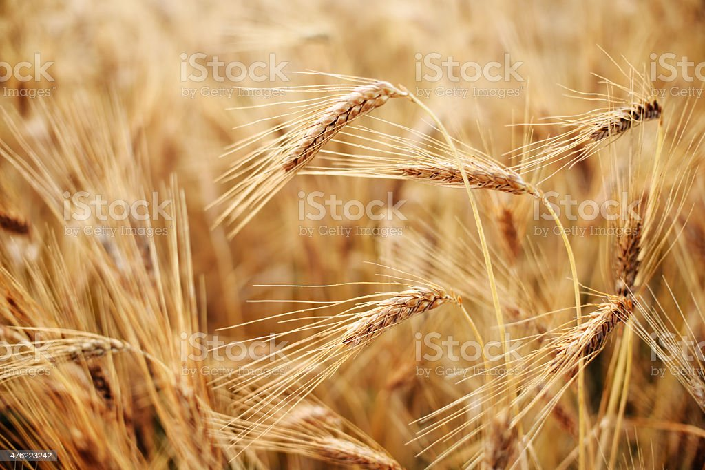 Hard Red Wheat stock photo