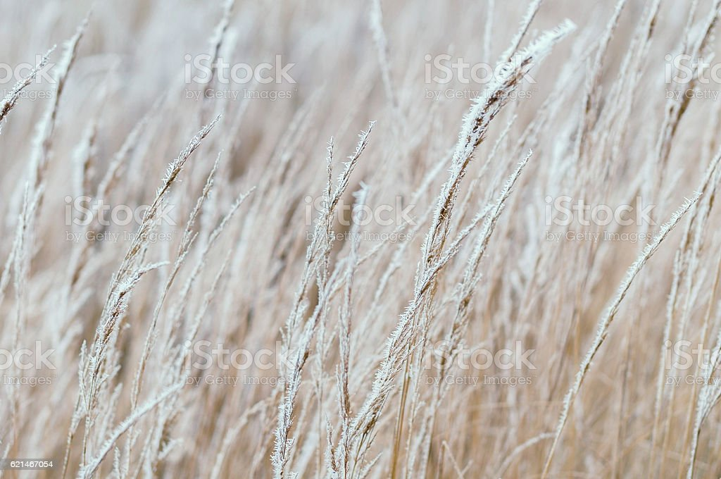 Hard rime on dry field grass stock photo