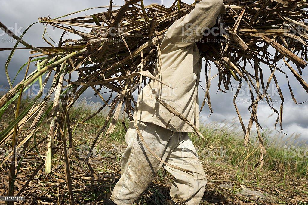 Hard work in sugarcane field royalty-free stock photo