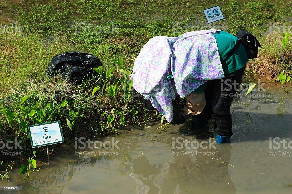 Hard working farmer royalty-free stock photo