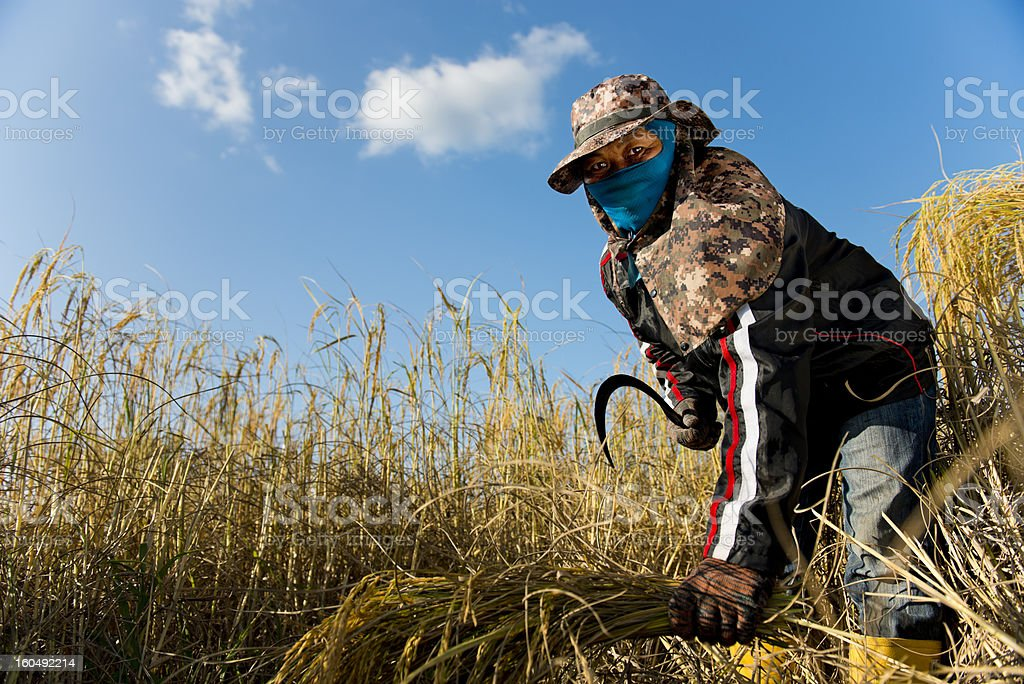 hard working rice farmer royalty-free stock photo