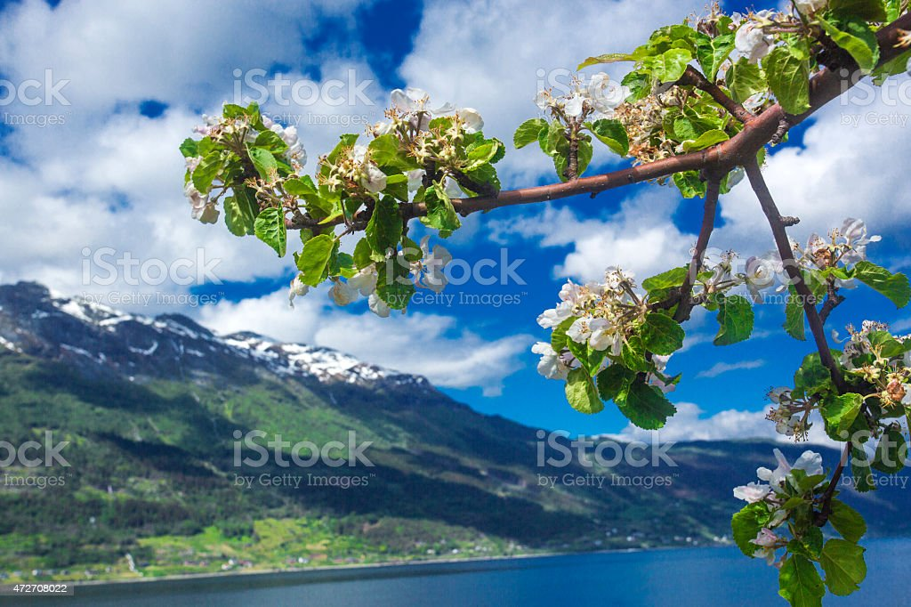 Hardangerfjord in may, Norway stock photo