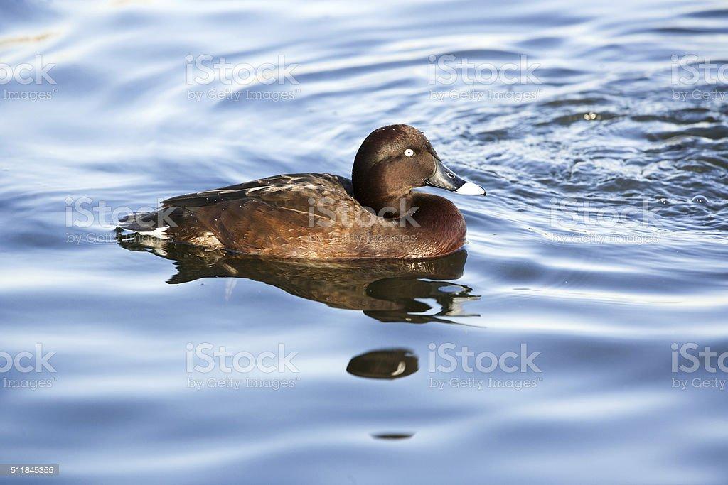 Hardhead duck stock photo