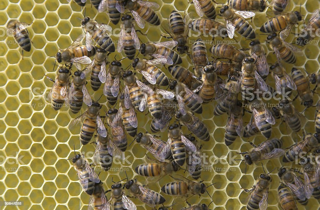 Hardworking bees royalty-free stock photo