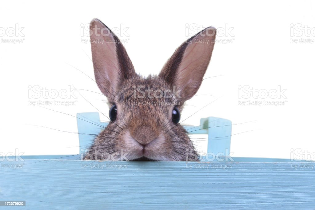 Hare in a basket royalty-free stock photo