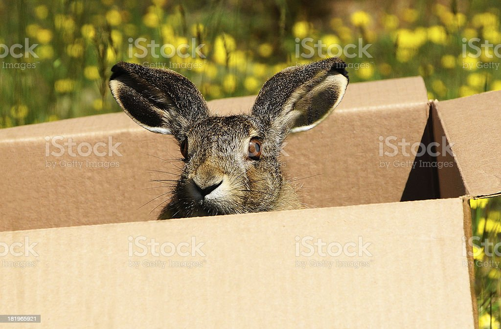 Hare in a box. royalty-free stock photo
